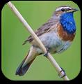 英国鸟类的声音