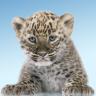 豹,可爱的猫